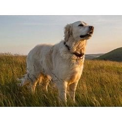 €29 Canine Holistic Health & Therapy Diploma Course